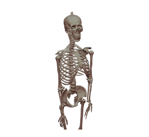 Human skeleton HD 3D model